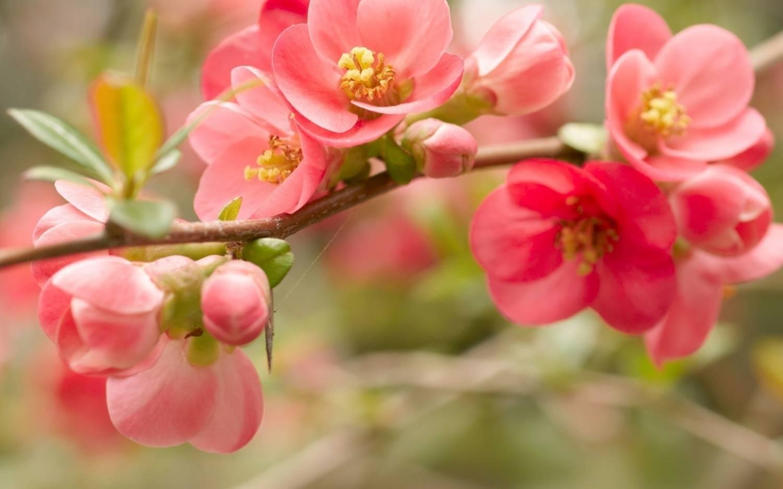 Яблоневый цвет картинка 2
